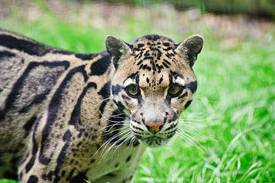 Clouded Leopard Neofelis Nebulova Big Cat Portrait Poster by Matthew Gibson