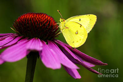 Clouded Sulphur On Echinacea Poster by Thomas R Fletcher