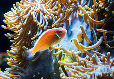 Clown Fish - Anemonefish Swimming Along A Large Anemone Amphiprion Poster by Jamie Pham