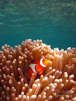 Clownfish In Coral Garden Poster by Fototrav Print