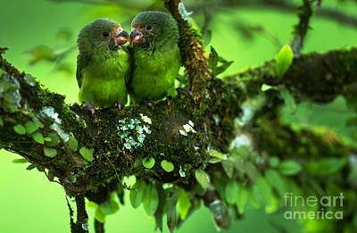 Cobalt-winged Parakeets Poster by Art Wolfe