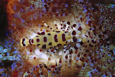 Colemans Shrimp On Venomous Sea Urchin Poster by Hiroya Minakuchi