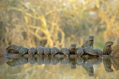 Colony Of Banded Mongooses Drinking Poster by Tony Camacho