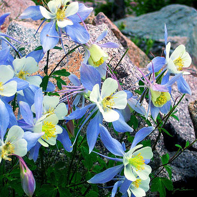 Colorado Blue Columbine Poster by Julie Magers Soulen