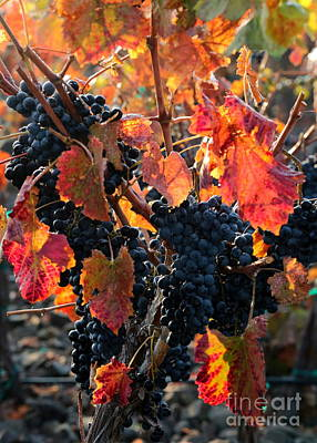 Colorful Autumn Grapes Poster by Carol Groenen