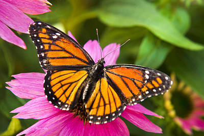 Colorful Butterflies - Orange Viceroy Butterfly Poster by Christina Rollo