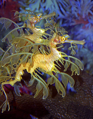 Colorful Leafy Sea Dragons Poster by Donna Proctor