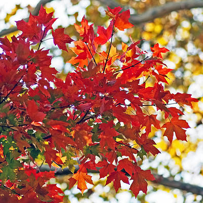 Colorful Maple Leaves Poster by Rona Black