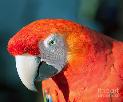 Colorful Parrot Poster by Gunter Nezhoda
