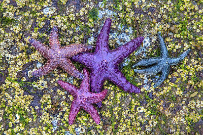 Colorful Starfish Bc Poster by Pierre Leclerc Photography