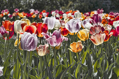 Colorful Tulips In The Sun Poster by Sharon Popek