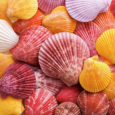 Colourful Scallop Shells Poster by Science Photo Library