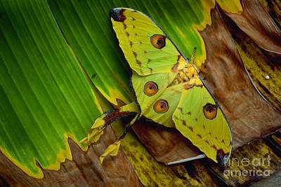 Comet Moth Poster by Art Wolfe