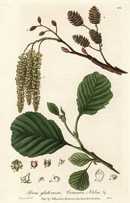 Common Alder Tree Poster by Florilegius/natural History Museum, London