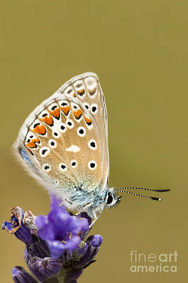 Common Blue Poster by Anne Gilbert