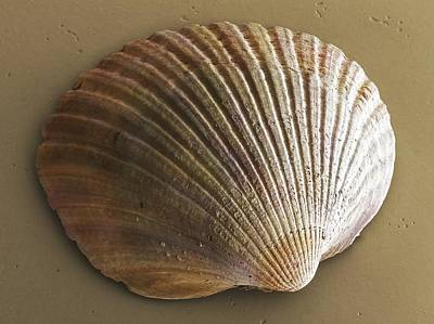 Common Cockle (bivalve) Shell Sem Poster by Science Photo Library