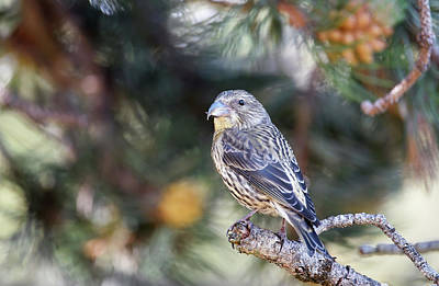 Common Crossbill Juvenile Poster by Dr P. Marazzi
