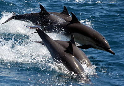 Common Dolphins Poster by Valerie Broesch