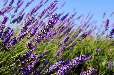 Common Lavender Poster by Fabrizio Troiani