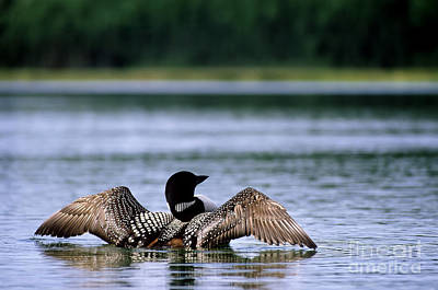 Common Loon Poster by Mark Newman