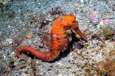 Common Seahorse Poster by Georgette Douwma