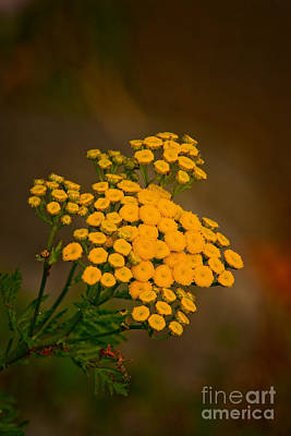 Common Tansy Poster by Michael Cummings