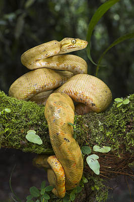 Common Tree Boa -yellow Morph Poster by Pete Oxford