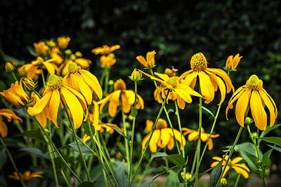 Coneflowers Echinacea Yellow  Poster by Rich Franco