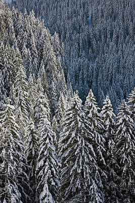 Conifer Forest In Fresh Snow In Kiental Poster by Martin Zwick