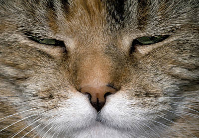 Contented Tabby Cat Abstract Poster by Nigel Downer