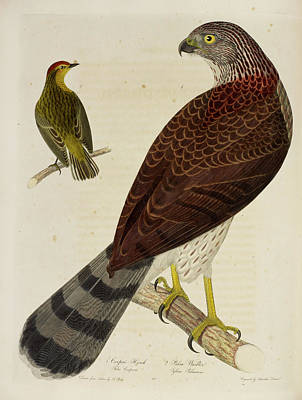 Cooper's Hawk And Palm Warbler Poster by British Library