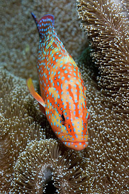 Coral Trout Or Grouper (plectropomus Poster by Jaynes Gallery