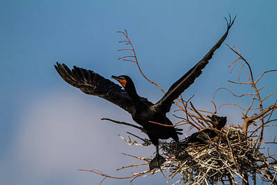Cormorant Parent Flying Out Poster by Andres Leon