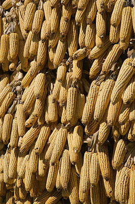 Corn Cobs Hanging To Dry, Baisha Poster by Panoramic Images