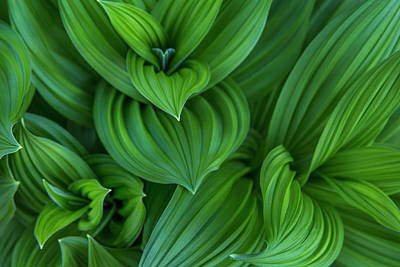 Corn Lily Aka False Hellebore Poster by Chuck Haney