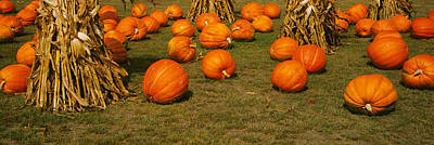 Corn Plants With Pumpkins In A Field Poster by Panoramic Images