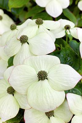 Cornus Kousa Southern Cross In Bloom Poster by Dr Jeremy Burgess