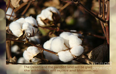 Cotton Bolls Ready For Harvest Poster by Beverly Guilliams