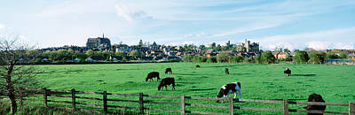 Cows Grazing In A Field With A City Poster by Panoramic Images