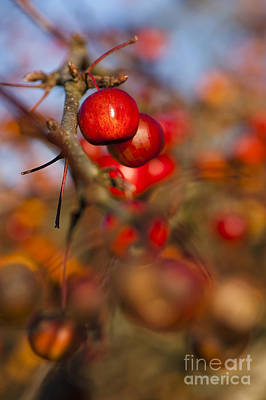 Crab Apple Bright Poster by Anne Gilbert