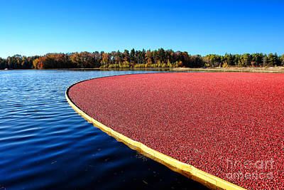 Cranberry Harvest In New Jersey Poster by Olivier Le Queinec