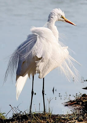 Crazy Egret Feathers Poster by Carol Groenen