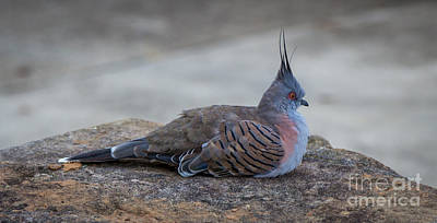 Crested Pigeon Poster by Kaveh Moghaddam