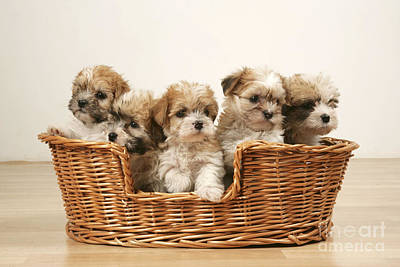 Cross Breed Puppies, Five In Basket Poster by John Daniels