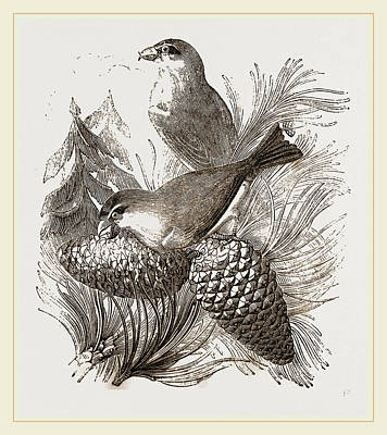 Crossbills Poster by Litz Collection