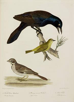 Crow Blackbird. Warbler. Finch Poster by British Library