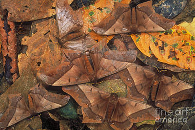 Cryptic Leaf Moths Blending Poster by Art Wolfe