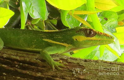 Cuban Knight Anole Lizard Poster by Robert Birkenes