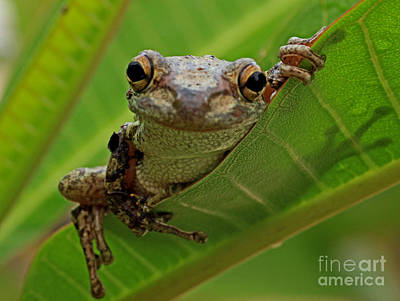 Cuban Tree Frog Poster by Larry Nieland