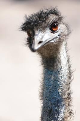 Curious Emu Poster by Carol Groenen